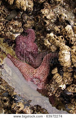 Purple starfish (sea star) exposed by low tides on an Oregon Beach near Yaquina Head Newport. echinoderms belonging to the class Asteroidea poster