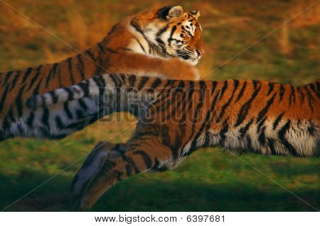 Two Running Siberian Tigers