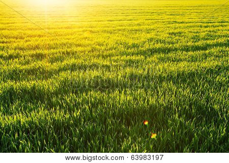 Sunny Wheatfield And Shining Sun