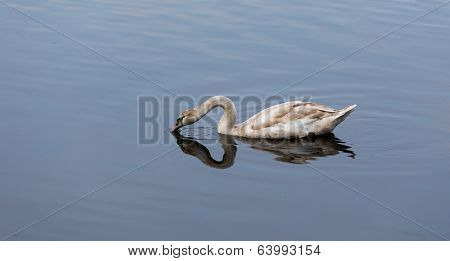 Young Swan Drinking Water