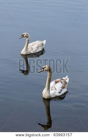 Two Young Swans Svimming Together