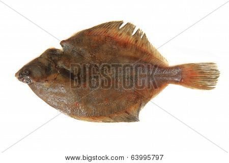 Flatfish Isolated
