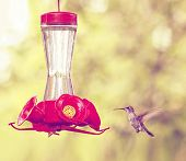 a cute hummingbird hovering at a nectar feeder done with a retro vintage instagram filter  poster