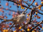 Northern Mockingbird standing on the branches of a tree eating berries. Late Autumn, Excellent display of plumage and head. poster