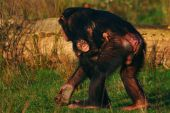 Walking male Chimpanzee with an infant on his belly poster