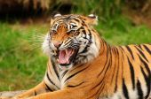 Gorgeous Sumatran tiger threatening its opponent by roaring poster