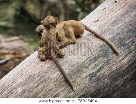 Two Funny Little Cubs Of Guinea Baboon Are Playing On The Tree Trunk