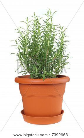 Rosemary Plant In Plastic Pot