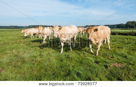Curious Cows In A Row