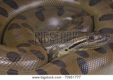Green anaconda / Eunectes murinus