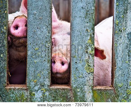 Pigs noses in a concrete fence on a farm