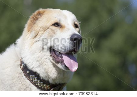 Central Asian Shepherd Dog portrait on the outside background poster