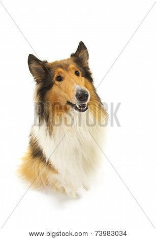 Rough Collie or Scottish Collie isolated over white background poster