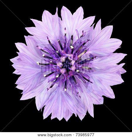 Purple Cornflower Flower Isolated On Black Background