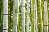The Bamboo Grove in Arashiyama for use poster