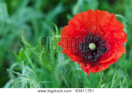 Big Red Poppy Flower