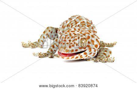 Tokay Gecko On White Background