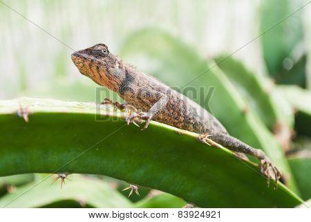 Garden Fence Lizard / Oriental Garden Lizard