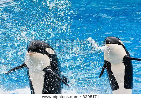Killer Whales Performing At Seaworld