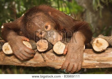 Young Orangutan On The Branch