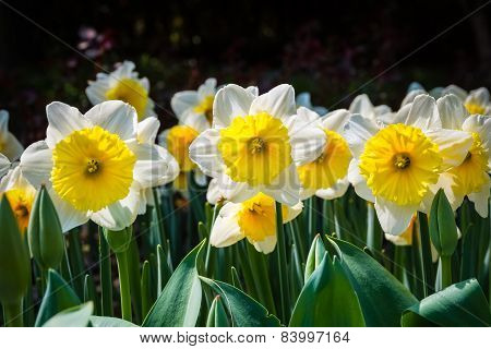 Narcissus Flower In Spring