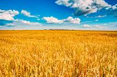 Backdrop of yellow wheat ears field on the cloudy blue sky background. Rich harvest wheat field, fresh crop of wheat. poster