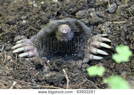 Townsend's Mole - Scapanus townsendii