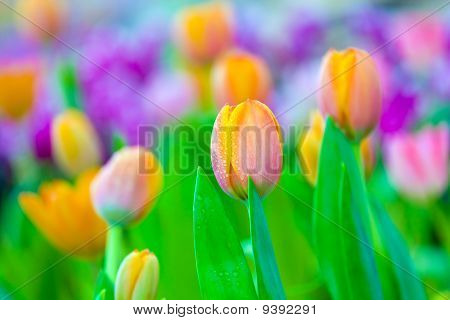 beautiful orange tulips 1