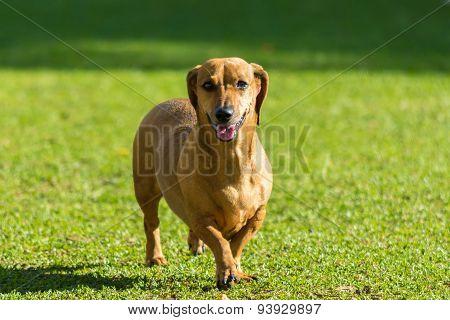 Dachshund Breed Dog