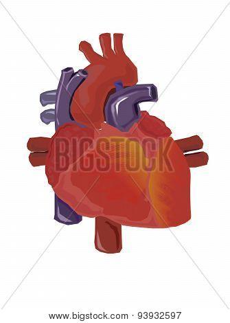 Vector Human Heart Anatomy