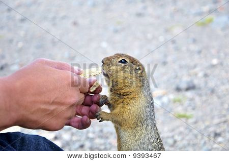 Hungry Gopher