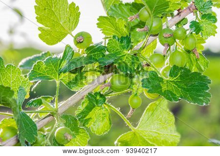 Sprig Of Gooseberry