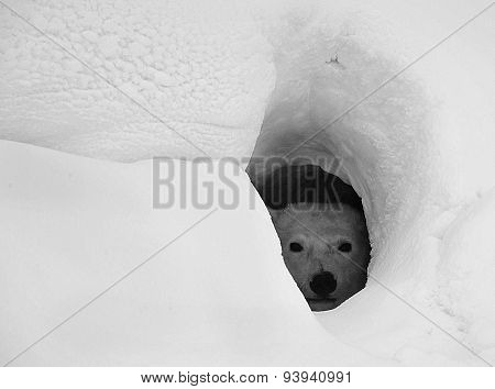 Polar bear in snow den