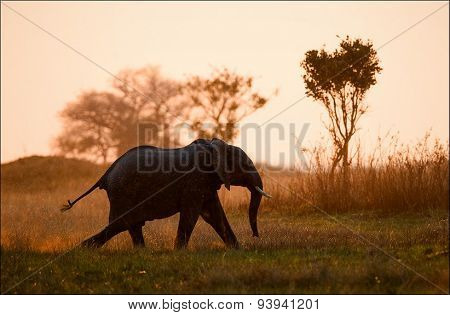 An elephant running in beams of the sunset sun.