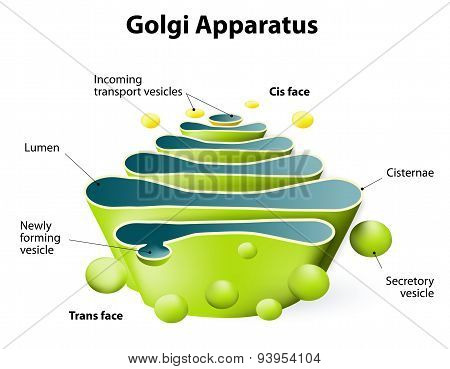 Golgi Apparatus Or Golgi Body