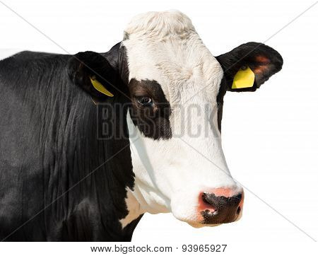 Close Up Of Cow Head Isolated On White