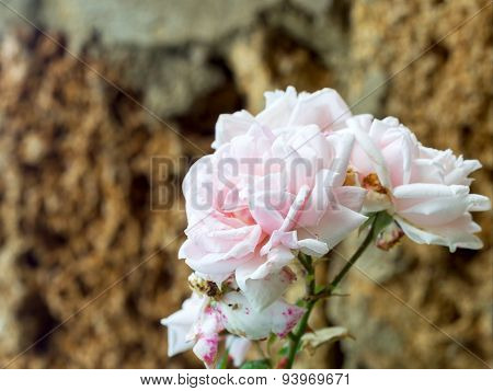 Delicate Pink Rose, Bokeh As Background For The Formulation Of Promotional Tracks. Soft Selective Fo