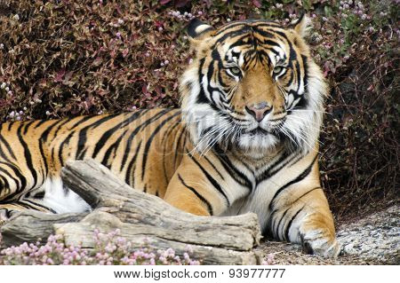 Sumatran Tiger sit and rest on the ground.