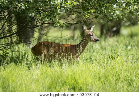 A Roe deer under a tree in the long grass