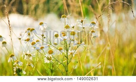 Chamomile (Matricaria chamomilla) in the evening sun on the background of the pond