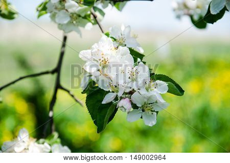 apple flowers The flowers of fruit trees. Spring. Soft image of a blossoming tree. apple blossoms in spring on white background. Blooming apple tree; beautiful white blossoms shallow field