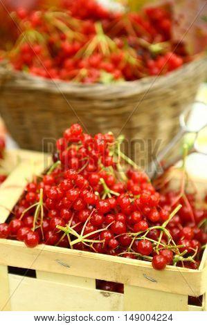 viburnum ripe in basket close up autumn photo