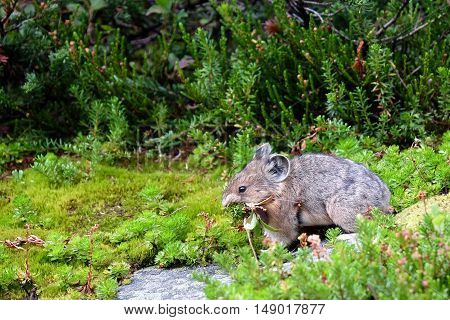 Mountain Pika with grass in Canadian Rokies.
