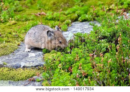 Pika collecting food. Rocky Mountains. Banff National Park. Alberta. Canada.