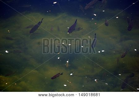 Largemouth bass (Micropterus salmoides) and bluegill fish (Lepomis macrochirus) swim together amidst the algae in a small lake in Joliet, Illinois during May.