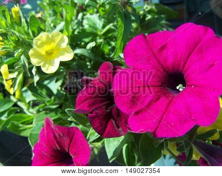 Big pink Petunia in the flower basket