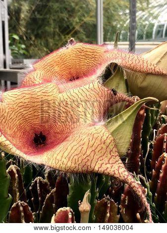 Carrion Flower Or Zulu Giant (stapelia Gigantea)