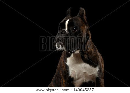 Close-up Portrait of Funny Purebred Boxer Dog Brown with White Fur Color Stare up and indignant Isolated on Black Background