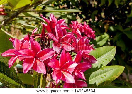 Red Plumeria on the plumeria tree frangipani tropical flowers. Plumeria acuminata Aiton or West Indian Red Jasmine.