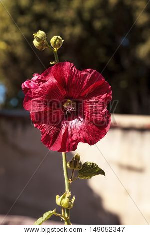 Dark red flower of common hollyhock Alcea rosea blooms in a botanical garden in Southern California, United States